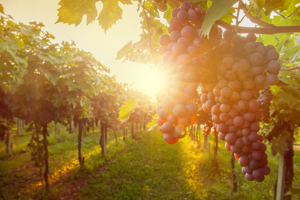 Back to Tradition | Quality Wines Make a Comeback