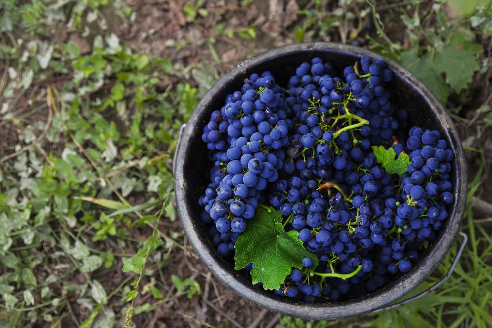 Curiosità sul Cabernet Sauvignon