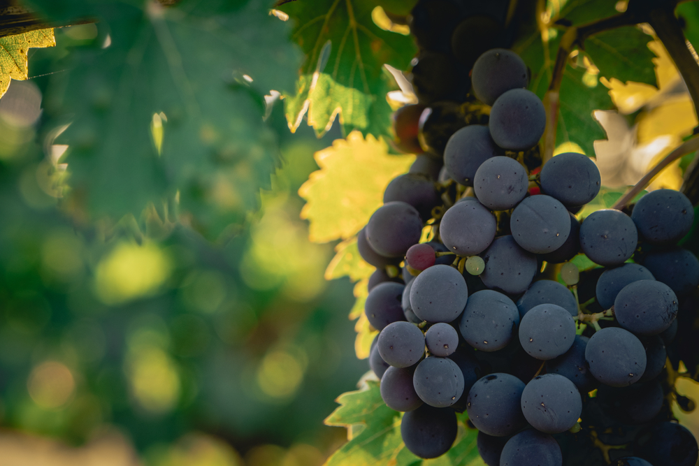 Wine fact: Sangiovese