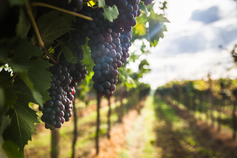9 Most Popular Wine Grapes of Italy