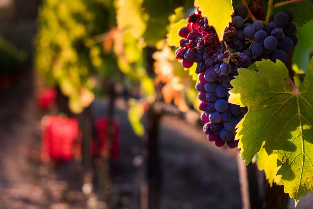 Il sapore del vino: una questione di suolo?