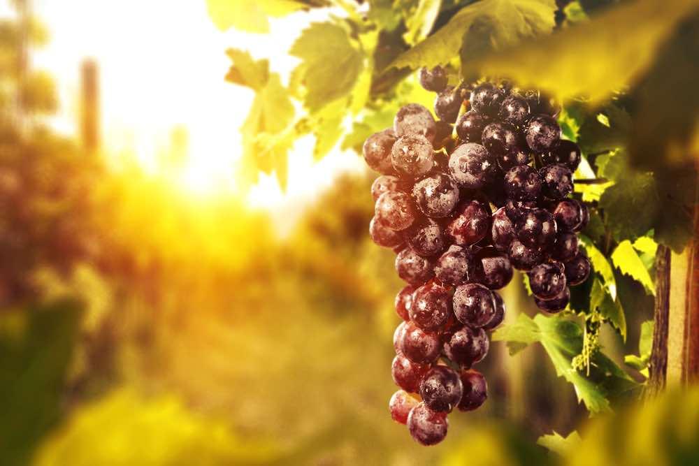 L'Italia ha più di 350 varietà di uva