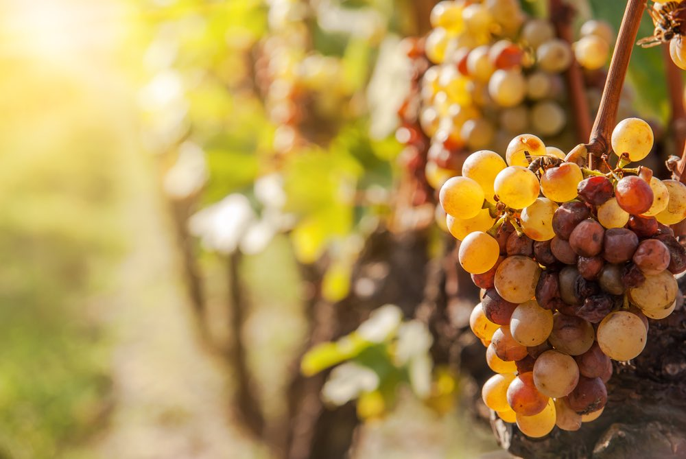 Wine Fun Fact: What Is Botrytis Cinerea?