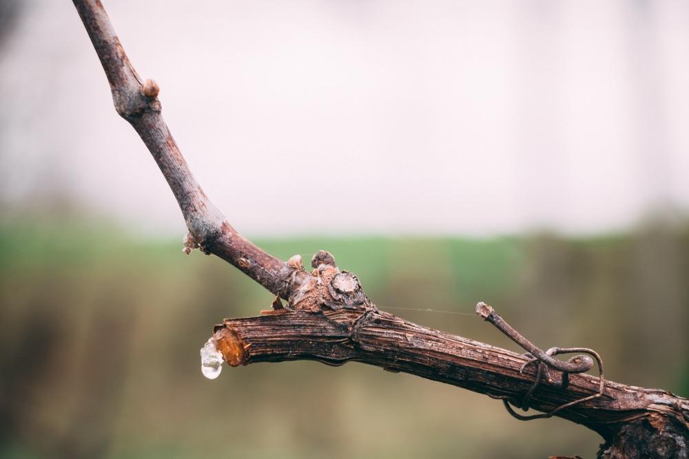"""Dal """"pianto"""" al germogliamento: in primavera la vite torna a vivere"""