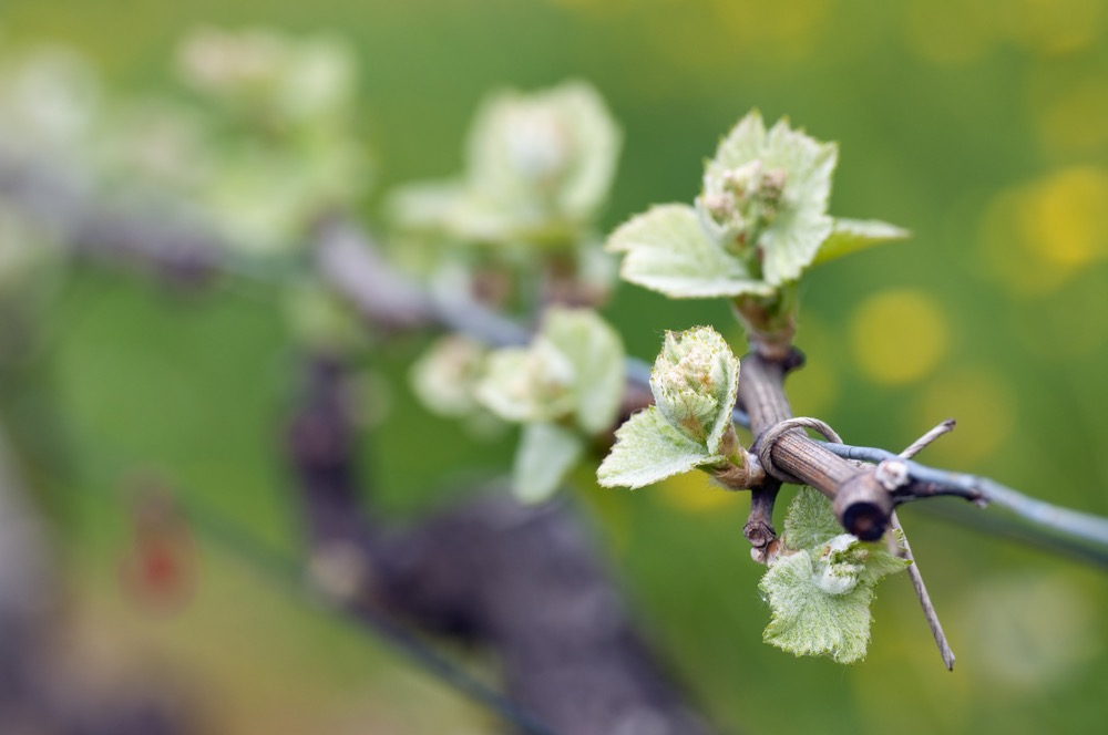 Budding Vines: Beginnings of Harvest Season