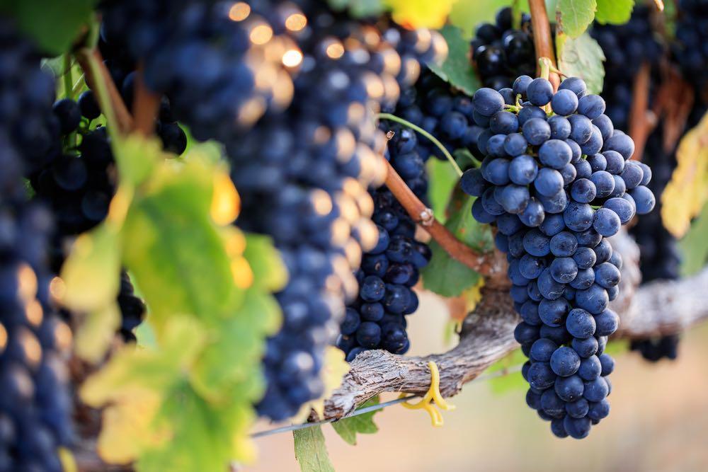 Da mosto a vino: come avviene la fermentazione