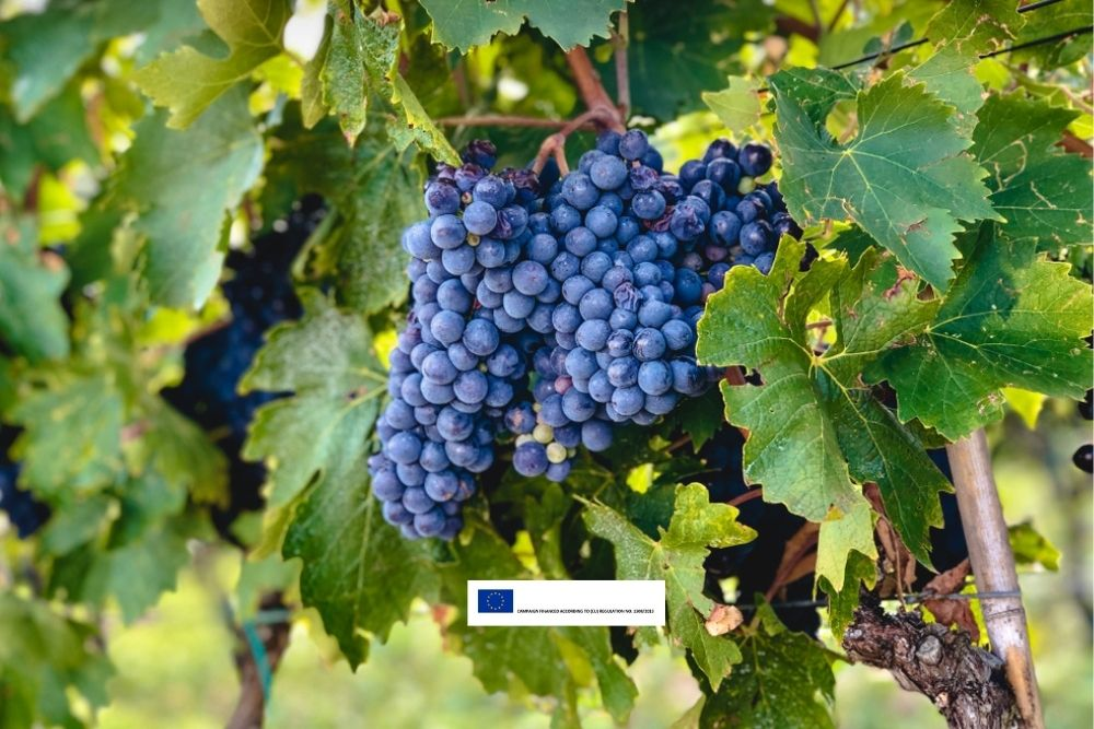 7 Reasons to Love Sangiovese Grapes